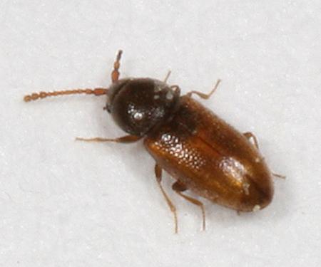 small beetle - Atomaria atrata