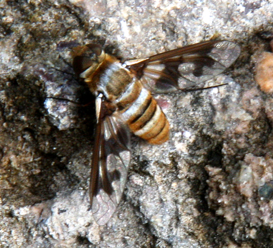 Bombyliidae-Exoprosopa butleri? - Exoprosopa fascipennis