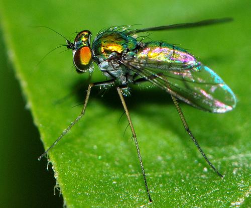 Long-legged fly - Condylostylus - female
