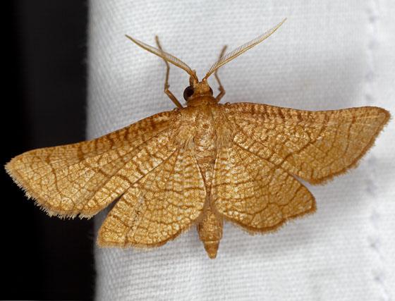 Moth IMG_0199 - Hexeris enhydris