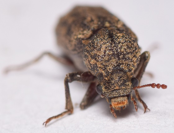 Barklike - Lichenophanes bicornis