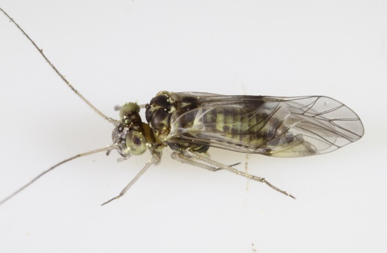 Indiopsocus palmatus - male