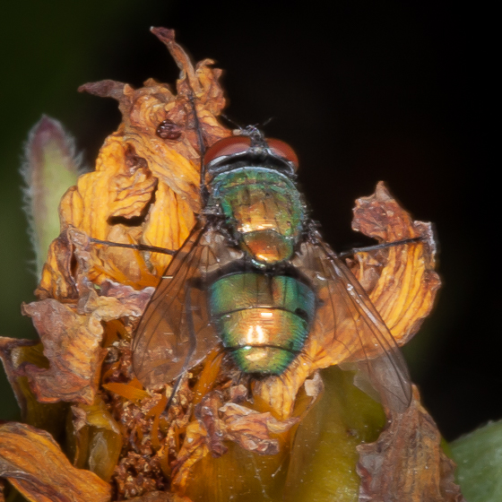 Blue Bottle Fly? - Lucilia - male