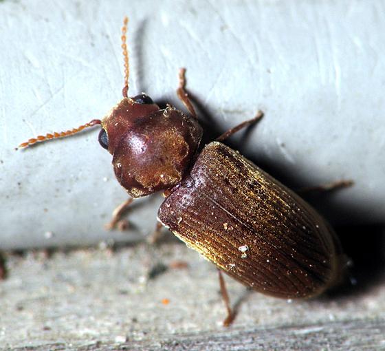 Small Beetle - Euvrilletta peltata