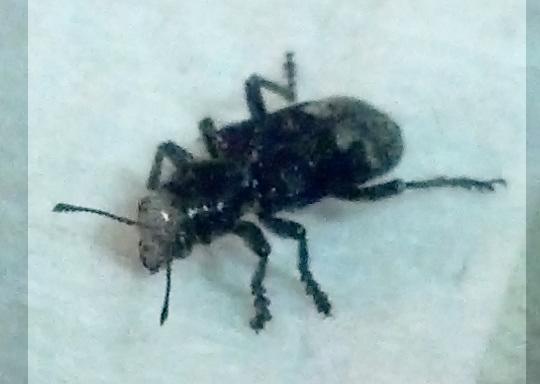 Black Ant-Like Beatle (?) with a Terrible Bite at Big Lake Arizona - Enoclerus moestus