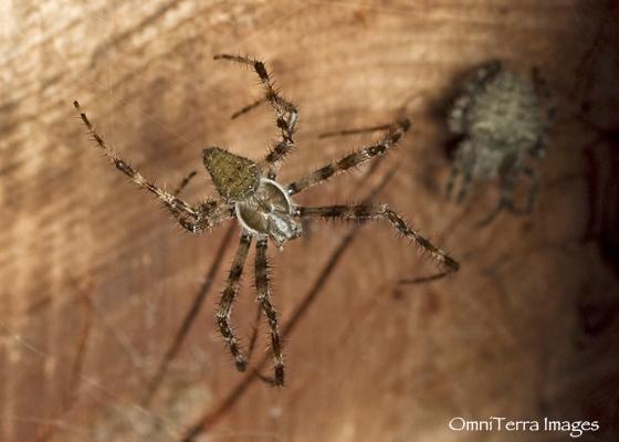 Barn Spider  - Araneus cavaticus