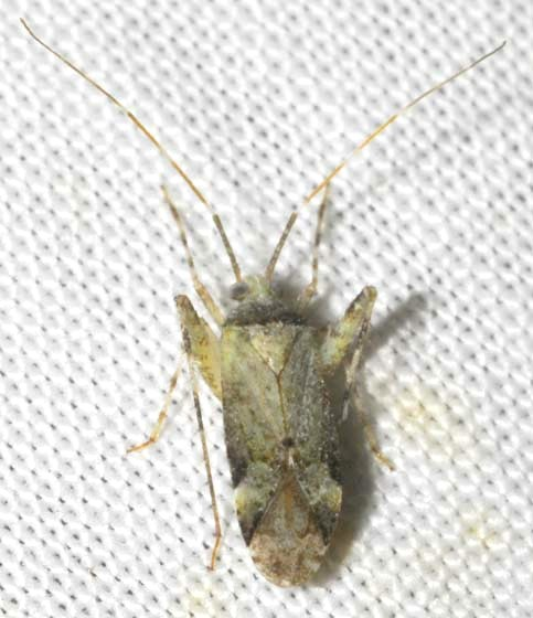 Plant Bug - Phytocoris