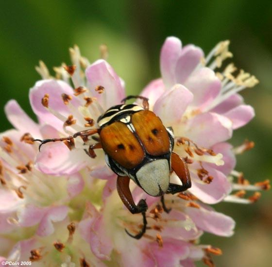 Delta Flower Scarab - Trigonopeltastes delta - male