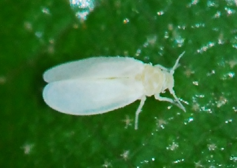 (Not So) New for Bug Guide: Whiteflies (Aleyrodidae); likely  Aleuroplatus.