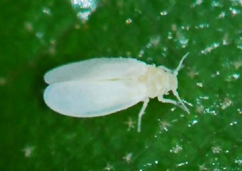 آفات کشاورزی - حشره شناسی - مگس هاي سفيد (خانواده Alevrodidae)