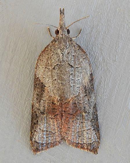 Arizona Moth - Platynota wenzelana