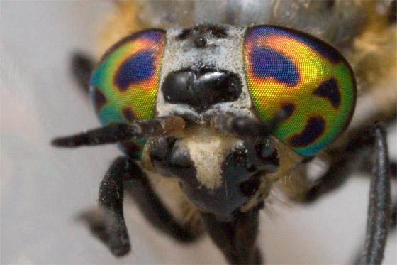 Fly - Chrysops sordidus - female