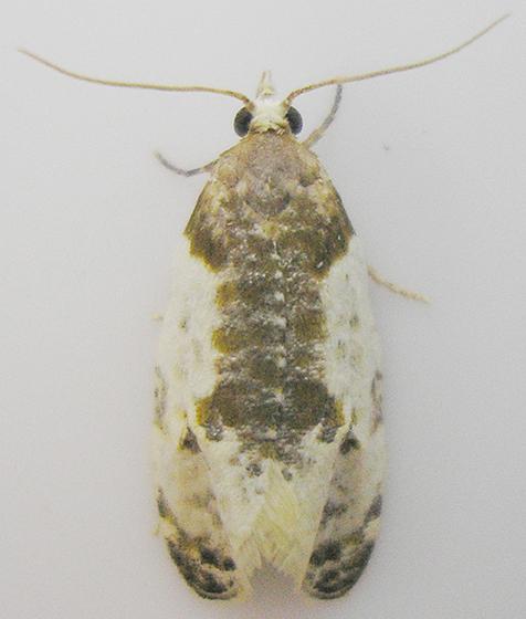 Moth - Henricus fuscodorsana