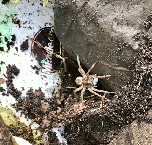 Wolf spider with egg sac? - Tigrosa
