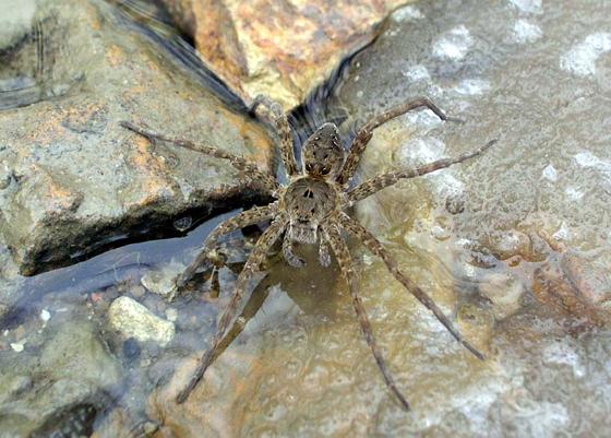 Spider 9 - Dolomedes vittatus