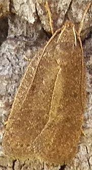 Moth C ID ? - Psilocorsis