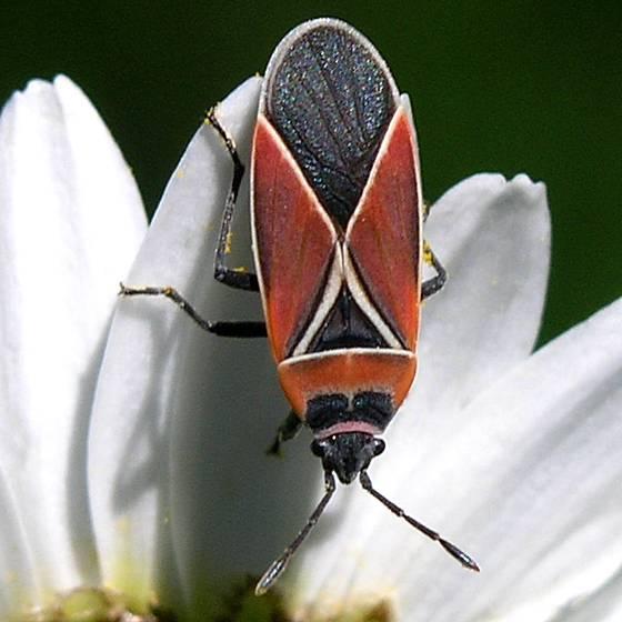 Whitecrossed Seed Bug - Neacoryphus bicrucis