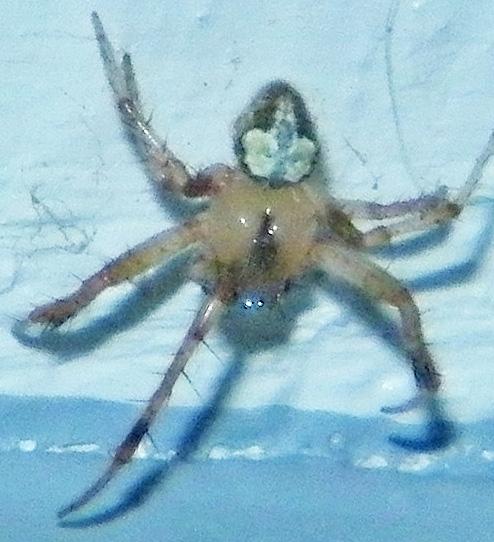 Spider - Araneus pegnia