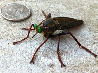 HUGE robber fly? - Microstylum morosum