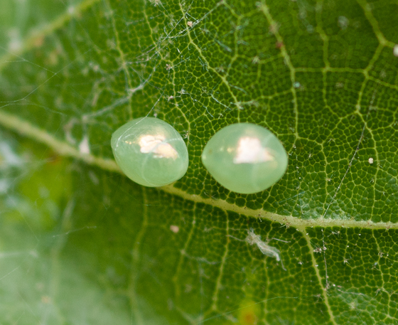 leaffooted bug eggs?