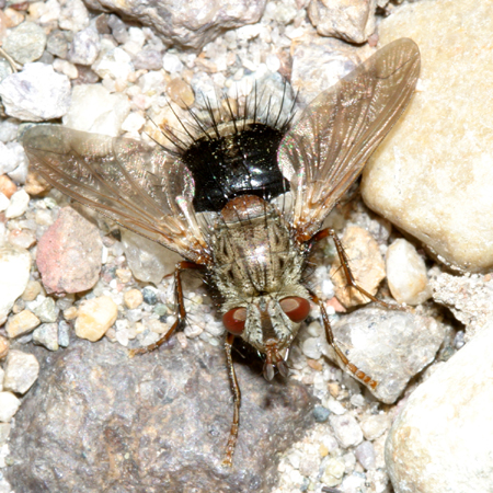 Tachinid Fly - Epalpus signifer