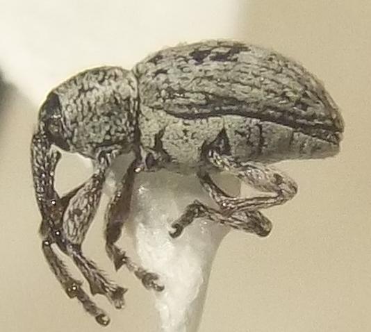 Smicronyx ovipennis LeConte - Smicronyx ovipennis
