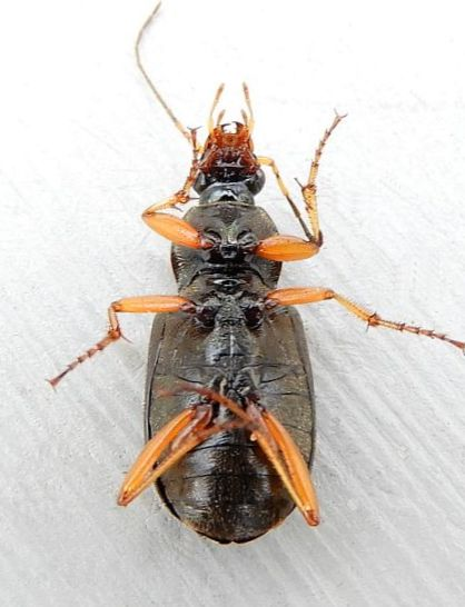 Pennsylvania Beetle for ID - Chlaenius tricolor