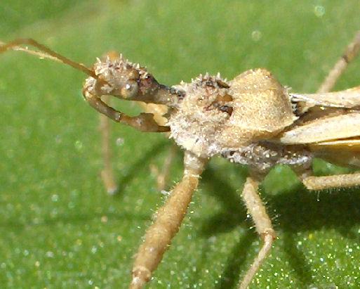 Strange proboscis - Sinea anacantha