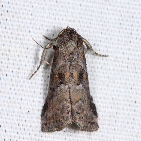 Black-patched Graylet - Hyperstrotia secta