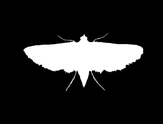 Pyralid Moth Silhouette 2