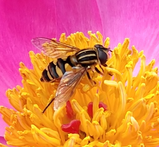 Bee or Fly mimicking a Bee? - Helophilus fasciatus