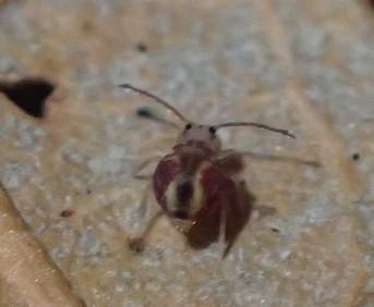 DC Globular Springtail 2 - Dicyrtomina minuta