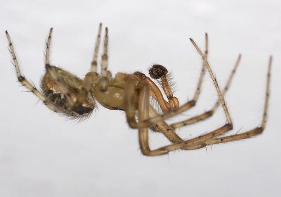 Araneidae ZH3Z3810 - Zygiella atrica - male
