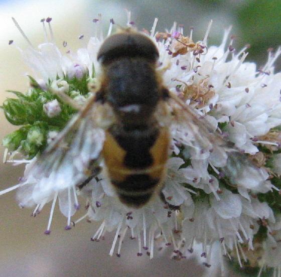 Syrphidae 04b - Eristalis arbustorum - male