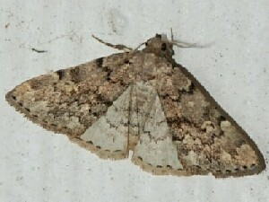 Toothed Idia Moth (Idia denticulalis) - Idia concisa