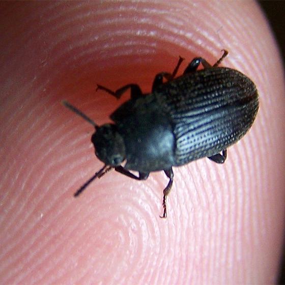unknown tiny beetle - Alaetrinus