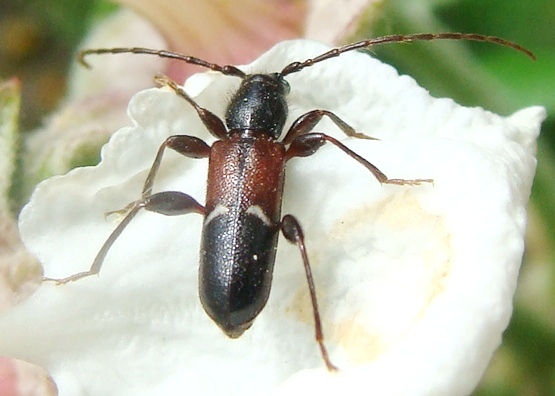 Long-horned Beetle - Phymatodes vulneratus