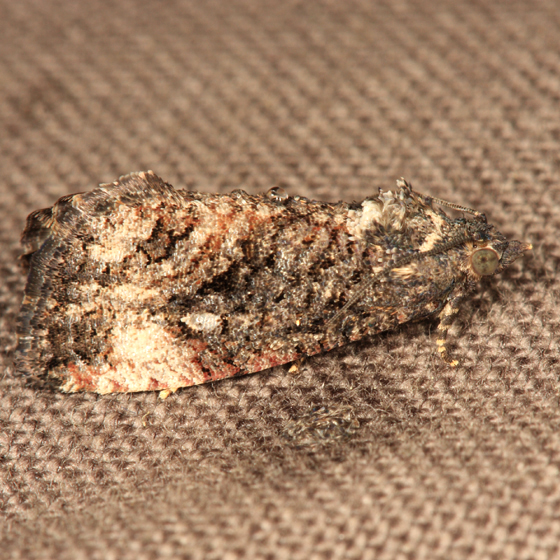 Dotted Ecdytolopha Moth - Gymnandrosoma punctidiscanum