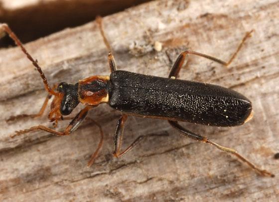 soldier beetle - Podabrus cavicollis
