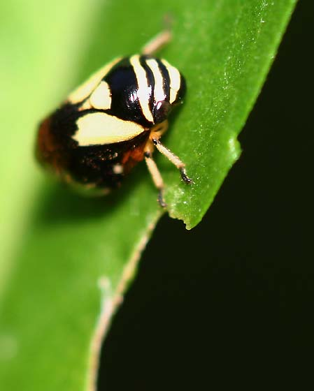 Froghopper - Clastoptera proteus
