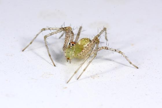 Spider - Peucetia