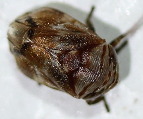 Clastoptera - Clastoptera octonotata