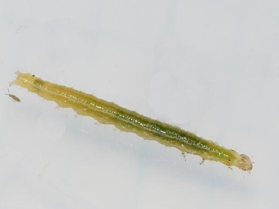 caterpillar on wild aster - Aug. 25 - Udea rubigalis