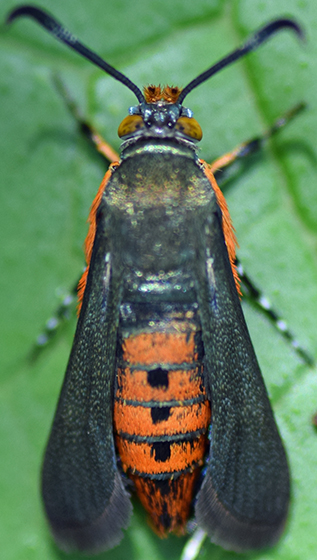 Moth - Melittia cucurbitae