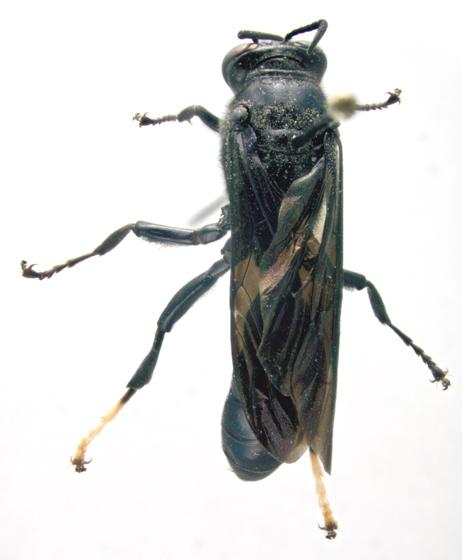 Crabronidae, dorsal - Trypoxylon politum