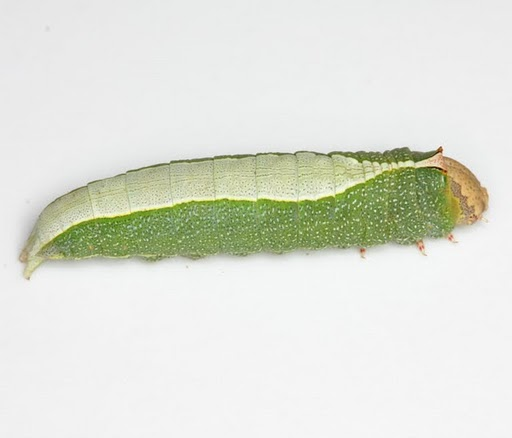 cat - Heterocampa astartoides