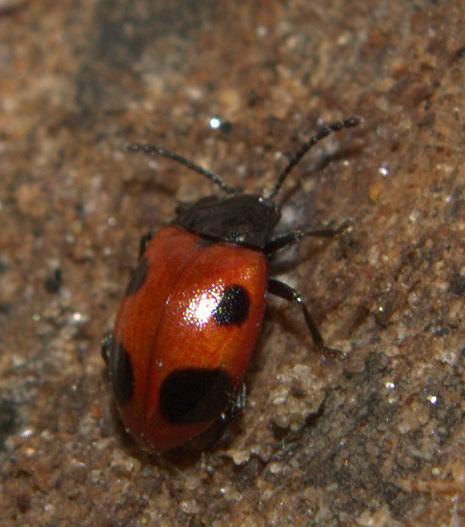 Beetle ID Request - Endomychus biguttatus