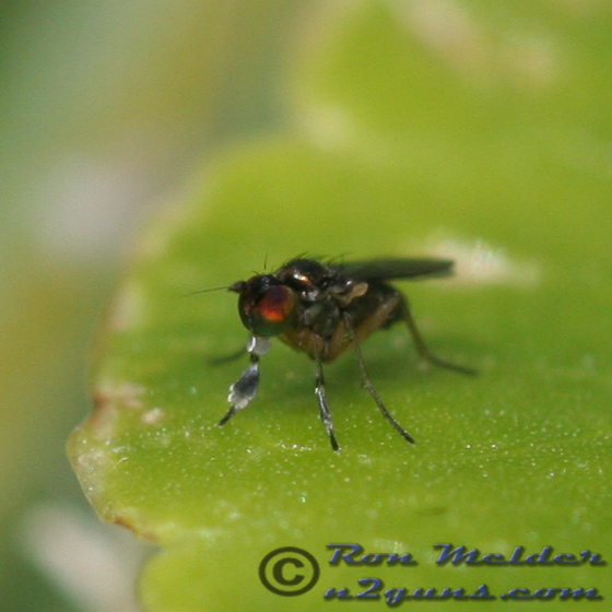 Fly 01 - Chrysotus simulans - male