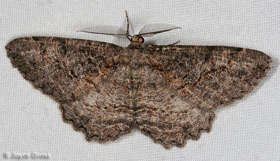 moth - Neoalcis californiaria - male