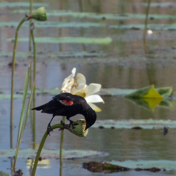 Red-winged Blackbird on Amercian Lotus